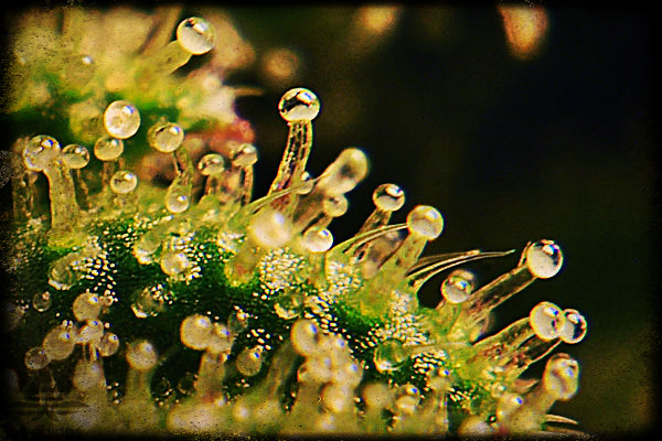 weed trichomes close up